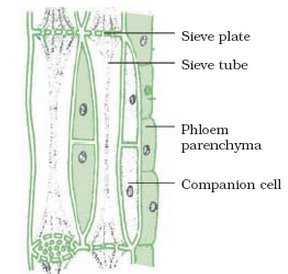 Diagram of phloem tissue diy wiring diagrams pathways of translocation study solutions rh istudy pk movement of phloem diagram diagram of xylem and phloem tissue ccuart Gallery