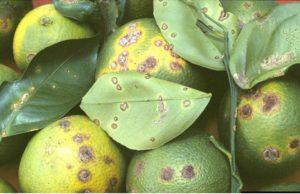 Citrus fruits showing canker