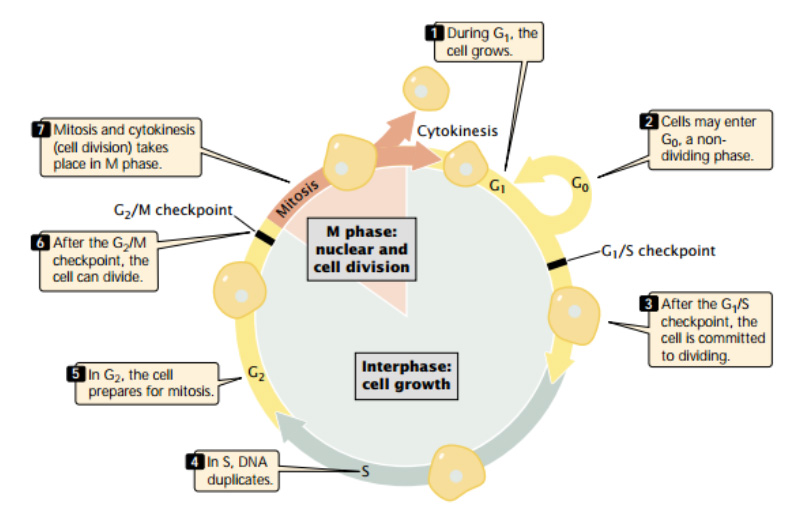 The cell cycle consists of interphase (a period of cell growth) and M phase (the period of nuclear and cell division).