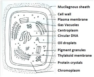 Cell of cyanobacteria