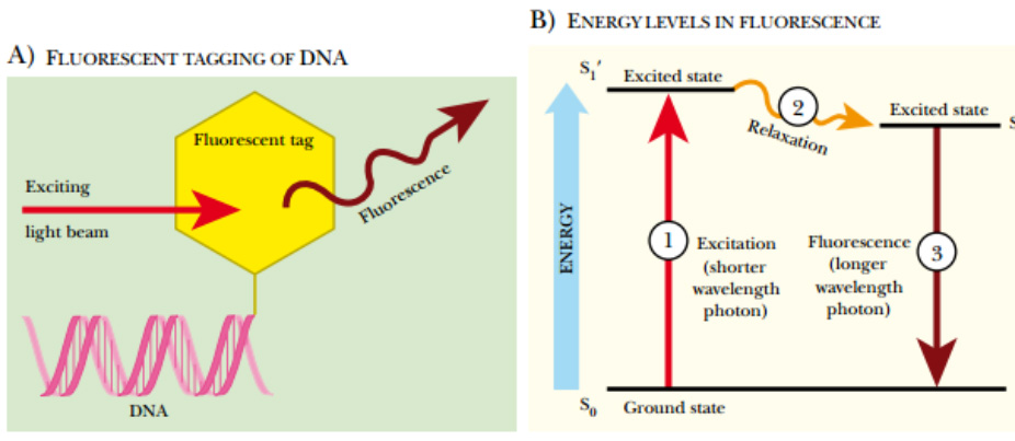 Radioactive Labeling Of Nucleic Acids And Autoradiography Study