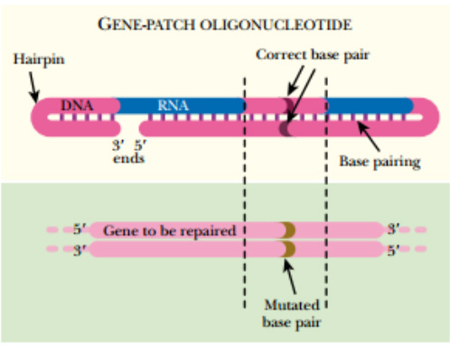 Gene Patching by oligonucleotids