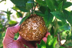 citrus canker