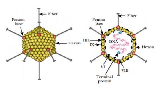 Fig adenovirus