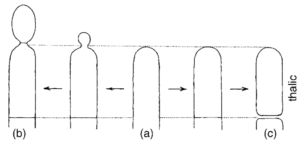Fig: Two basic modes of development during conidiogenesis of a hyphal apex(a): blastic(b) and thallic (c).