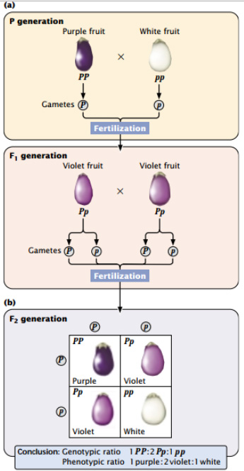 Fig: Fruit color in eggplant/ brinjal is inherited as an incompletely dominant trait.