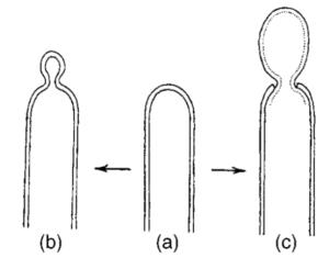 Fig: Conidiogenesis