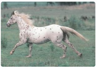 Fig: leopard spotting horse