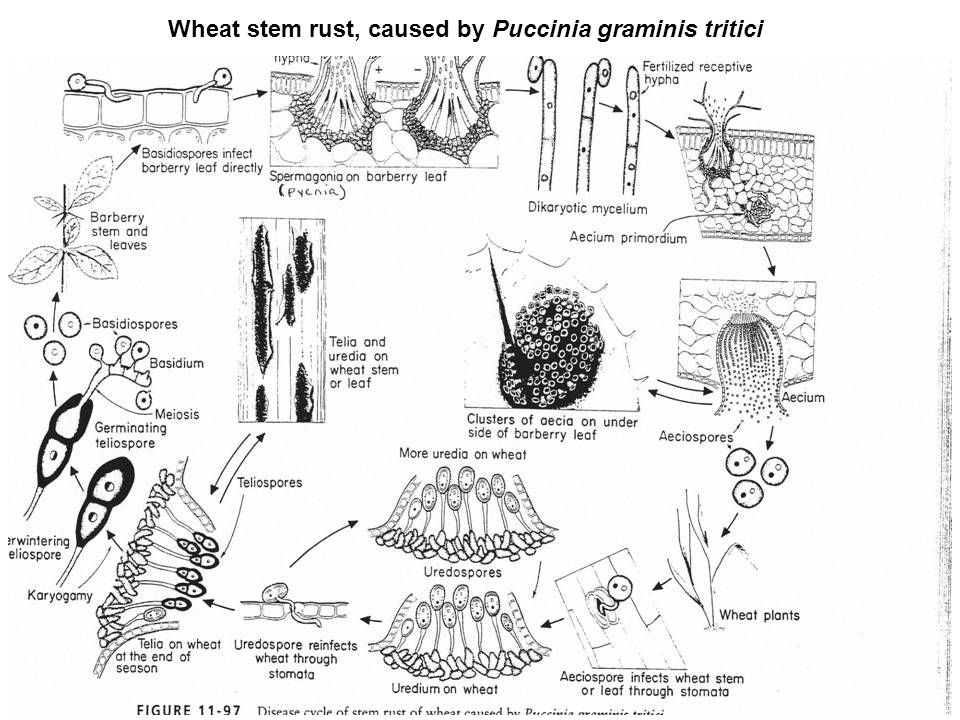 life-cycle-of-rust
