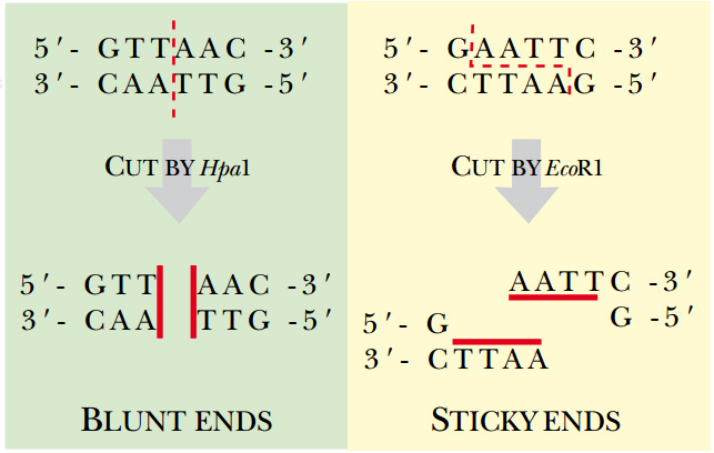 how to cut dna using restriction enzymes