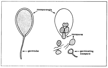 Zoospores of Phytophthora.