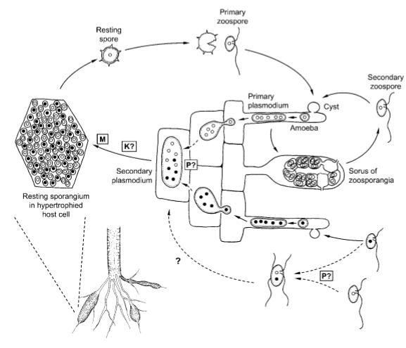 plasmodiophora