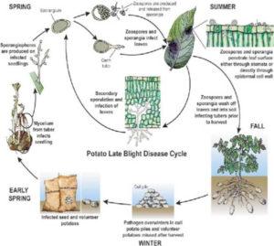 potato_late_blight_life_cycle