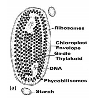 rhodophyta-cholorplast
