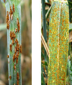 stem-rust-example