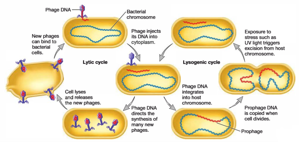 Fig: Lytic and Lysogenic Cycles of Temperate Phages. Virulent phages undergo only the lytic cycle. Temperate phages have two phases to their life cycles. The lysogenic cycle allows the genome of the virus to be replicated passively as the host cell's genome is replicated. Certain environmental factors such as UV light can cause a switch from the lysogenic cycle to the lytic cycle. In the lytic cycle, new virions are made and released when the host cell lyses
