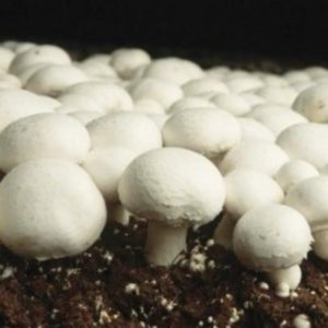 Fig: Agaricus bisporus (white button)
