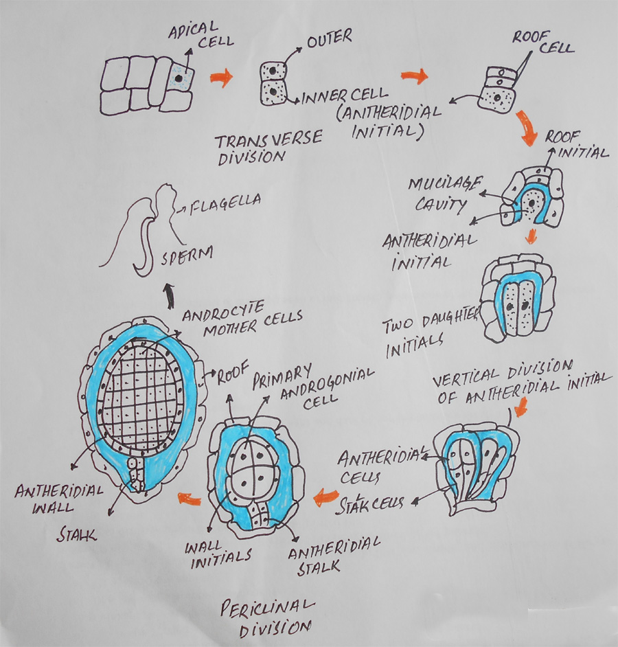 Development of antheridium