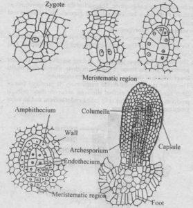 Development of Sporophyte