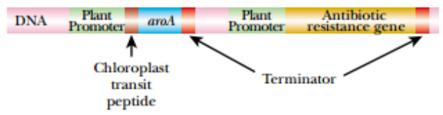 Expression of the Agrobacterium aroA Gene in Plants