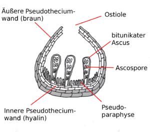 Fig: Pseudothecium