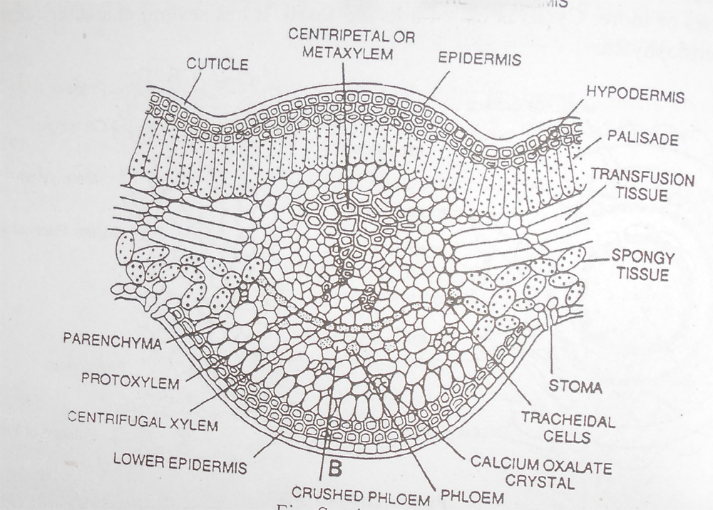 Cycas Morhology Anatomy Life Cycle Living Fossil