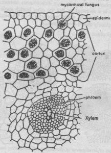 TS of rhizome