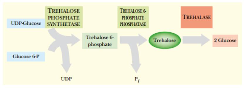 Trehalose synthesis