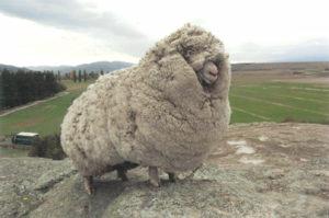 Woolier sheep