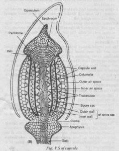 Capsule of Polytrichum