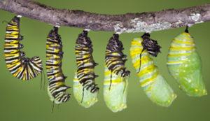 Monarch butterfly caterpillar emerging
