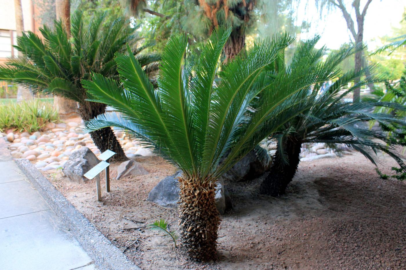 Cycas| Morhology| Anatomy| Life Cycle| Living Fossil