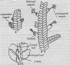 Fig: A: Male plant. B: Female plant C: leaves