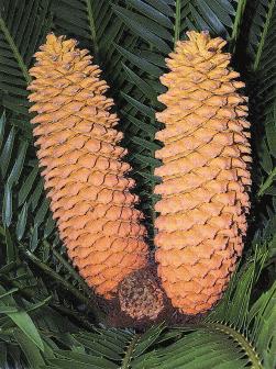 Cycas male cones