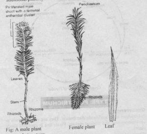 Polytrichum Plants