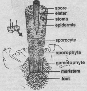 Sporophyte of Anthoceros