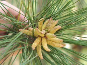 Pinus male cones