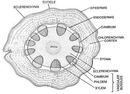 Fig: T.S of stem of ephedra