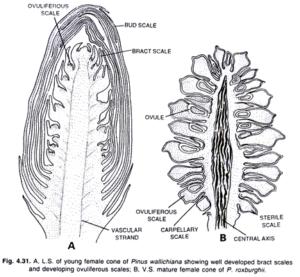 female-cone