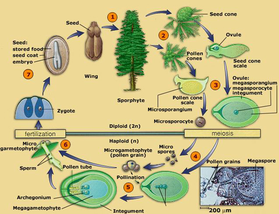 gymnosperm-life-cycle