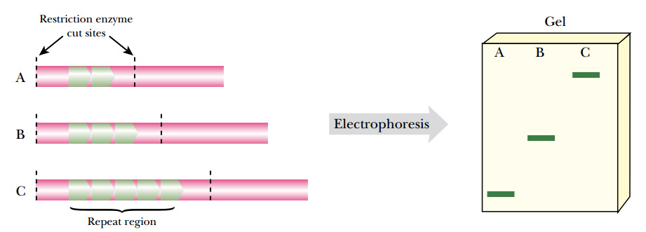 FIGURE 24.6 VNTR Fingerprinting  Genomic DNA has regions with repeated sequences. In each individual, the number of repeats varies, and therefore the lengths of these regions can be compared to distinguish identities. The repeated region is isolated using restriction enzymes from three individuals marked A, B, and C. The fragments are run on agarose gels to compare the lengths.