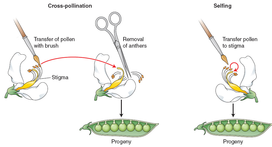 Figure 2-3 In a cross of a pea plant (left ), pollen from the anthers of one plant is transferred to the stigma of another. In a self (right ), pollen is transferred from the anthers to the stigmata of the same plant.