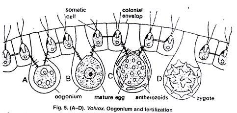 volvox diagram volvox occurrence reproduction colony coenobium volvox diagram algae volvox occurrence reproduction colony