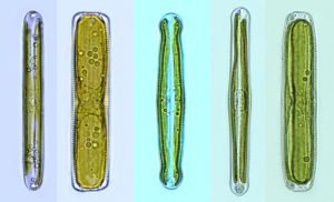 Pinnularia cell