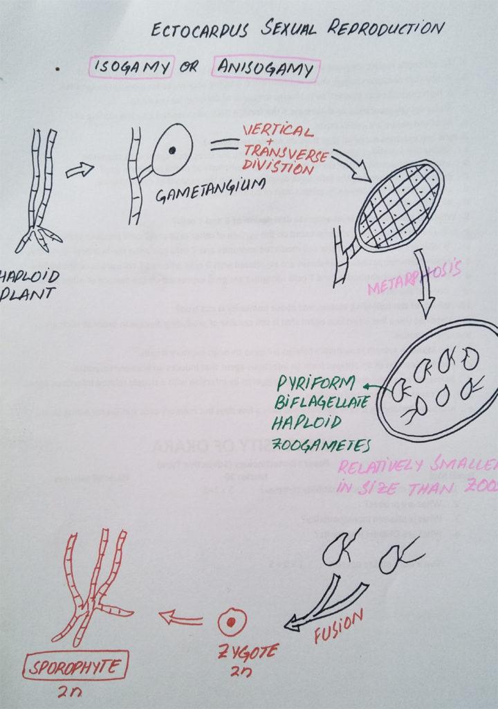 Sexual reproduction Ectocarpus