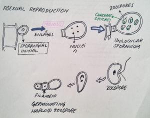 Unilocular sporangia