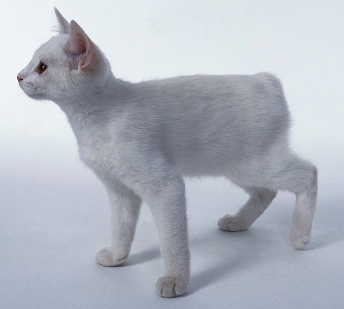 White Manx cat standing,